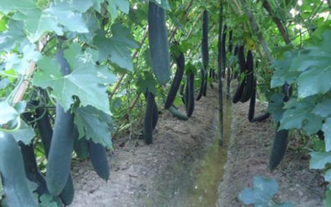 Kỹ thuật trồng bí xanh vụ đông