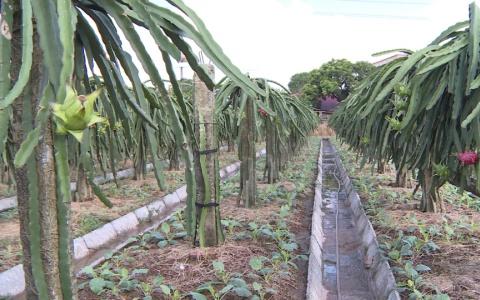 Tích tụ ruộng đất trồng thanh long ruột đỏ
