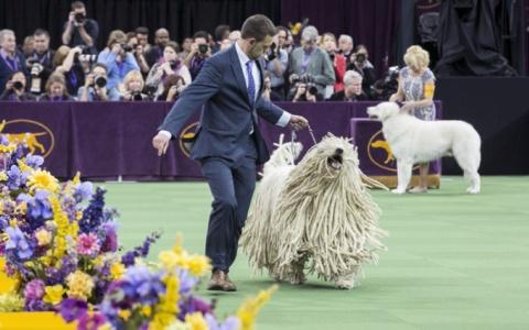 Gần 3.000 chú chó tham gia Cuộc thi chó xuất sắc Westminster