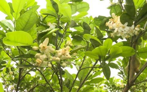 Hoa bưởi tháng ba ở làng vườn Bách Thuận