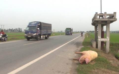 Tái diễn tình trạng vất xác lợn chết ra ngoài môi trường