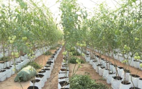 Ứng dụng công nghệ cao trồng cà chua trong nhà lưới