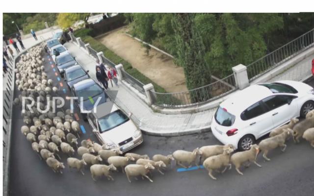 """Độc đáo màn """"diễu hành"""" gia súc tại thủ đô Tây Ban Nha"""